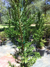 Black Dragon Japanese Cedar (Matures 6' - 10')