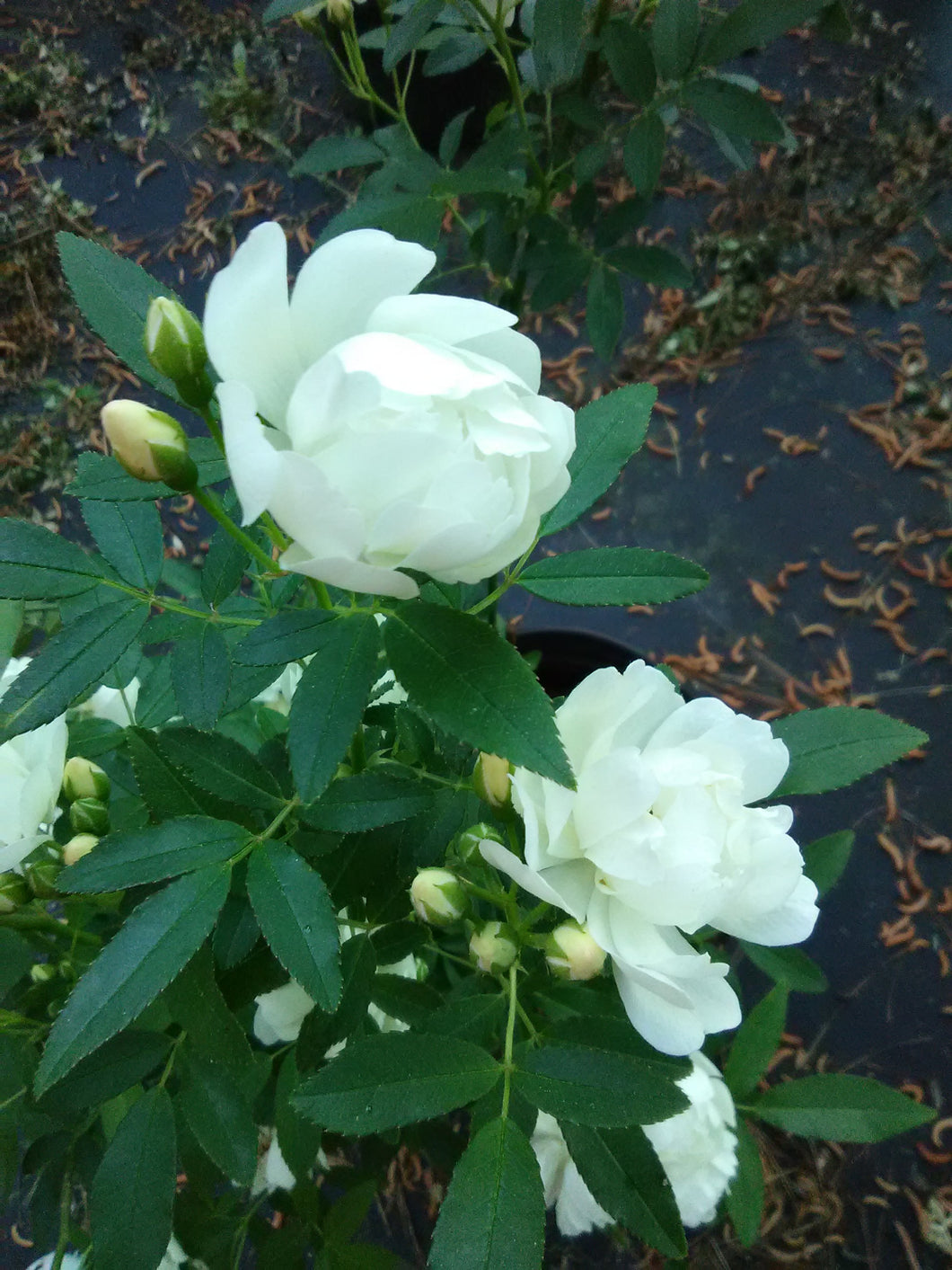 Lady Banks 'White' Climbing Rose