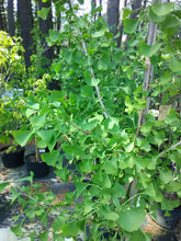 Ginkgo biloba ' Autumn Gold ' , Maidenhair