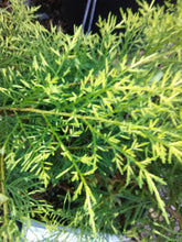 Gold Lace Juniper (Maturity: 2' - 4' height)