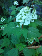 Alice Oakleaf Hydrangea (6' - 10' mature height)