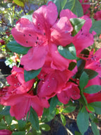 Amaghasa Evergreen Azalea (Matures 2' - 4')