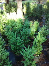 Green Mountain Boxwood (Matures 4' - 6')