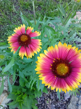 X - Goblin Blanket Flower (discontinued)