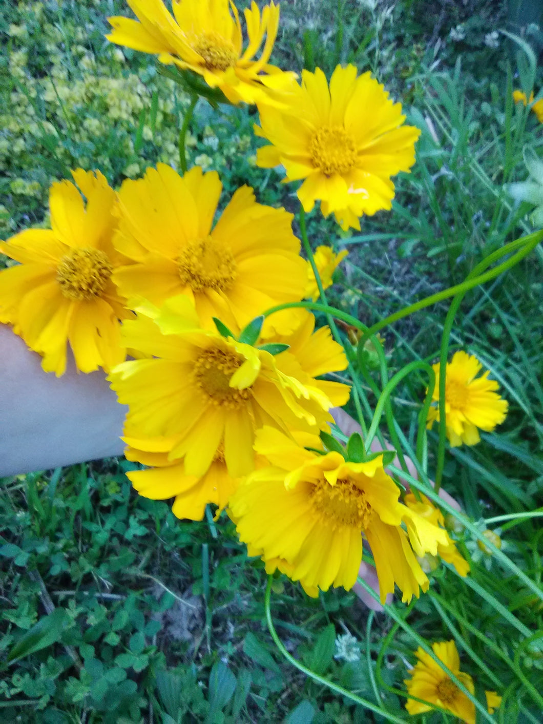 X - Jethro Tull Fluted Tickseed - Coreopsis (discontinued)