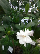 August Beauty Gardenia (4' - 6' height)