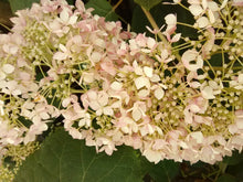 Invincibelle Spirit II Hydrangea * SOLD OUT *