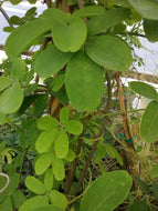 Akebia Chocolate Vine
