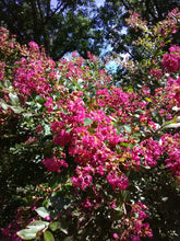 Baton Rouge Weeping Crape Myrtle (Matures 2'- 4') * SOLD OUT *