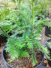 Margarita Yew (mature height 4' - 6')