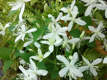 Sweet Autumn Clematis