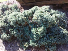Blue Star Juniper (Maturity 2' - 3' height)
