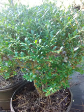 Beehive Japanese Holly (Matures 4' - 6')