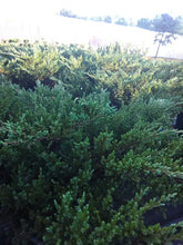 Andorra Juniper (Maturity 2' - 4' height)