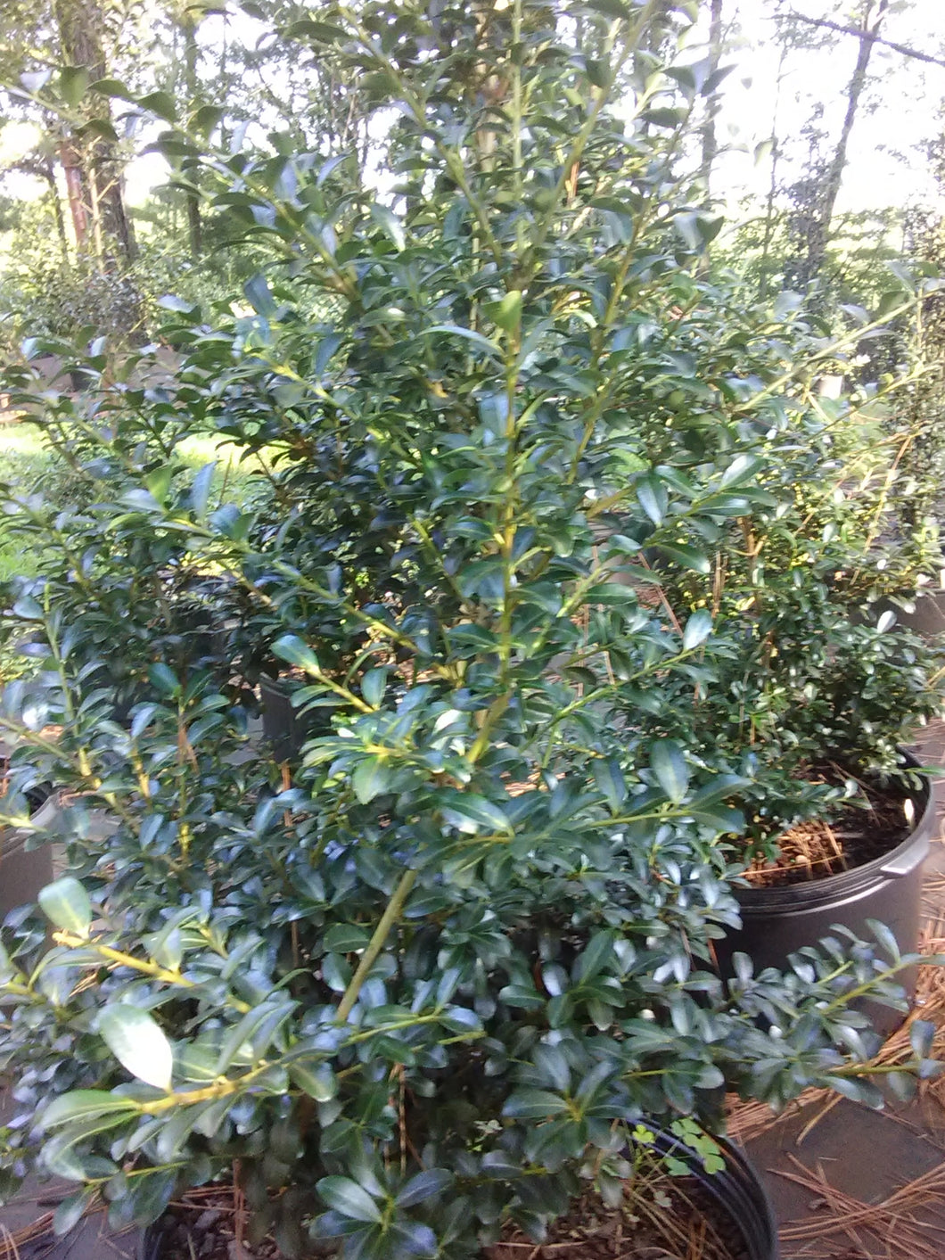 Jersey Pinnacle Japanese Holly (Matures 6' - 10')