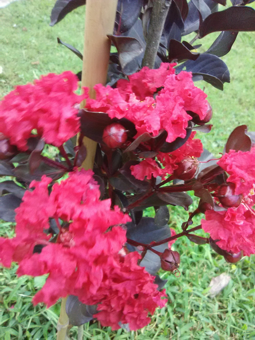 Black Diamond Crimson Red Crape Myrtle (Matures 10' - 15')