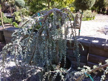Weeping Blue Atlas Cedar