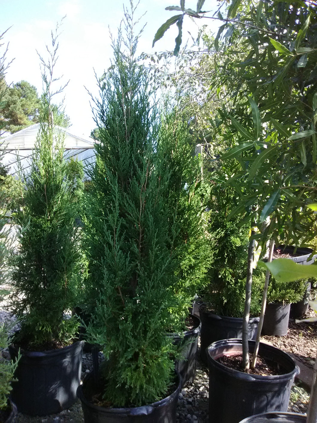 Taylors Juniper (Maturity: 25' height, 4' spread) * SOLD OUT *