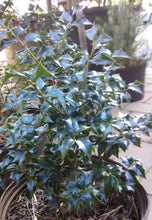 Dragon Lady (blue) Holly