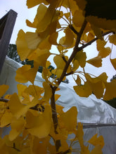 Ginkgo, Maidenhair Tree
