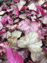 Heuchera 'Georgia Peach' Coral Bells