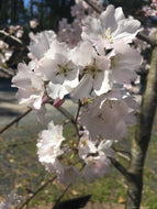 Akebono Cherry (flowering, ornamental) Tree * SOLD OUT *