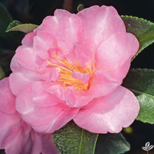 Showa-No-Sakae Camellia (Matures 4' - 8')