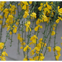 Sister Golden Hair Scotch Broom