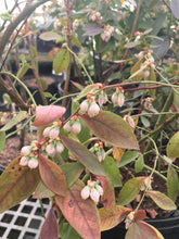 Sunshine Blue Blueberry (high-bush) * SOLD OUT *