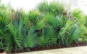 Scrub Palmetto Palm