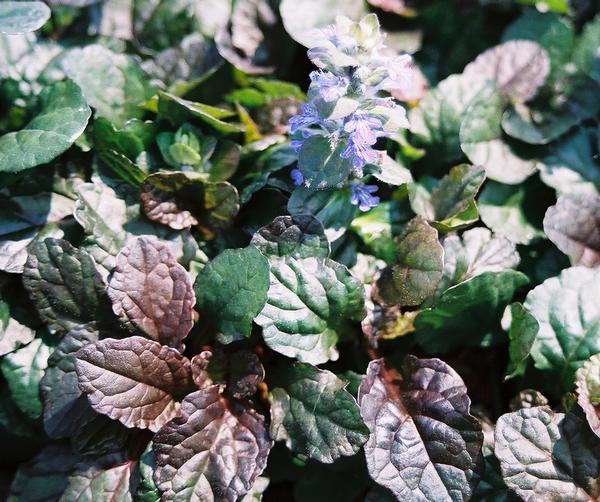 Bronze Beauty Ajuga * SOLD OUT *