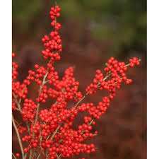 Berry Nice Winterberry Holly