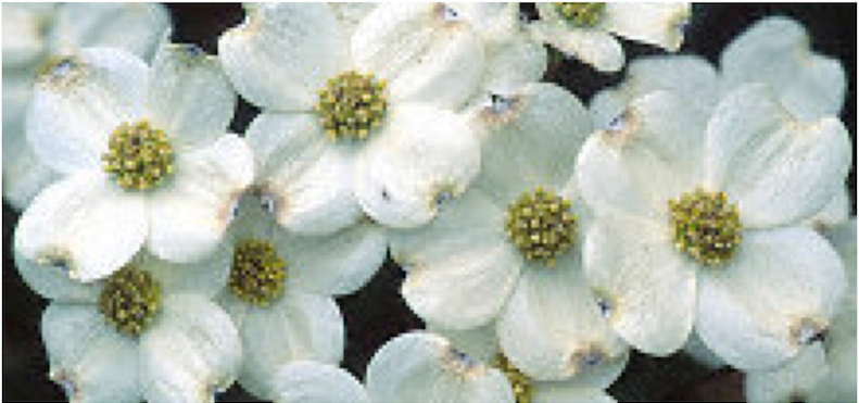 Cloud Nine Dogwood