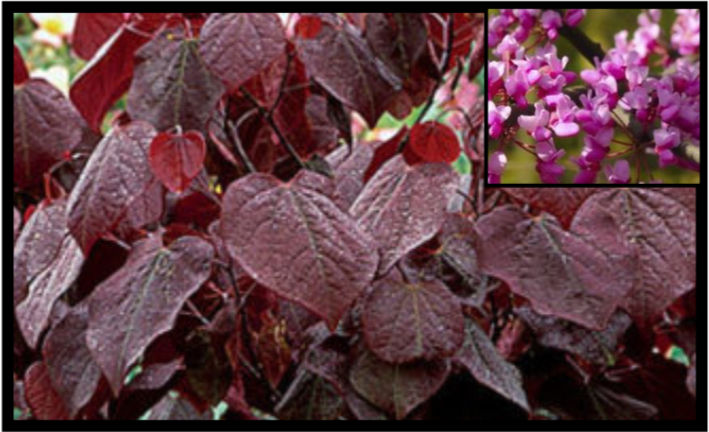 Forest Pansy Redbud  (20'-30' maturity)
