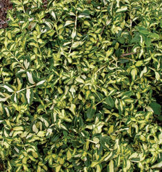 X - Moonshadow Euonymus (discontinued)