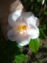 Granny Henson's Camellia * SOLD OUT *