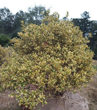 O'Spring Chinese Holly (mature height 10' - 15')