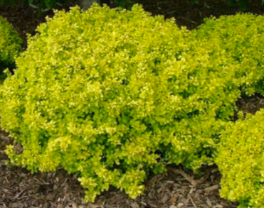 Golden Japanese Barberry * SOLD OUT *