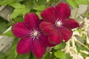 Red Cardinal Clematis (discontinued)