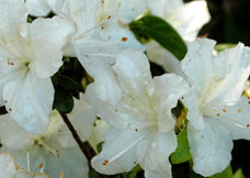White Glacier  Azalea (4' - 6' mature height)