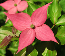 Scarlet Fire Pink Kousa Dogwood. Sold Out