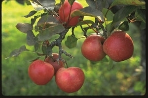 Yates (semi-dwarf) Apple