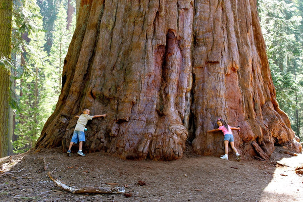 Giant Sequoia Tree - Barenaturals blog