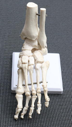 Life Size Foot Joint Anatomical Model Skeleton