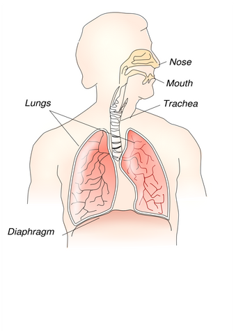 Diagram depicting the human respiratory system
