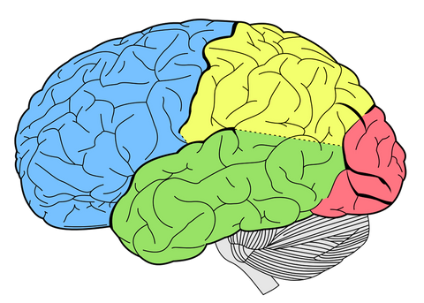 Illustration of a brain with five sections colored differently