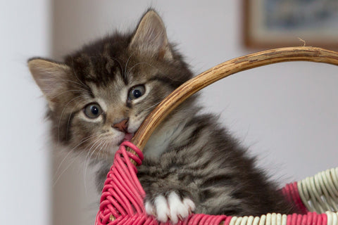 Small kitten sitting in a basket and biting on the handle