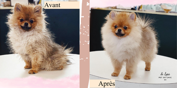 End of quarantine : these dogs transformed after their grooming session at the Spa Petsochic