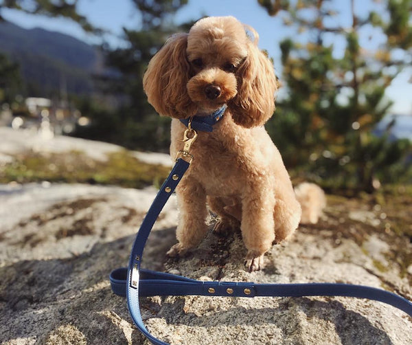 Dog leash - Royal Blue-Petsochic