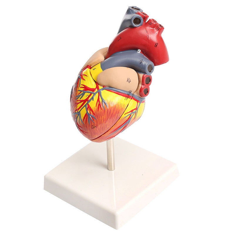 Anatomical Medical Larynx Model Human Heart Teaching Cardiac School Learning and Educational Model Building Kits